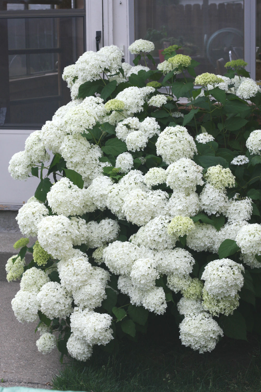 Hydrangea inspire to breathe for Annabelle hydrangea