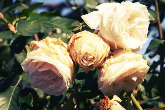 Kansas City Rose Garden
