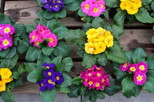 Primroses at Horrocks