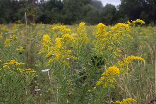 Goldenrod Field