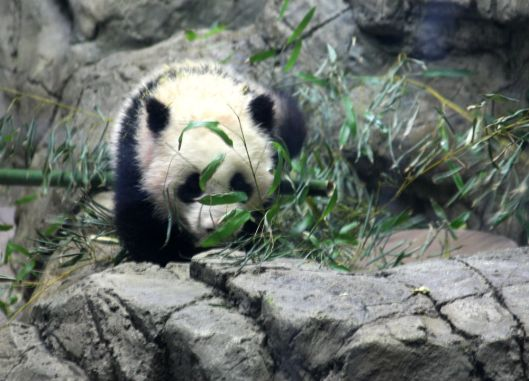 National Zoo Pandas