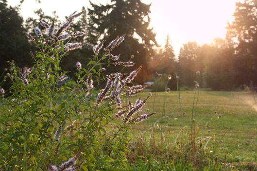 Hood River Lavender