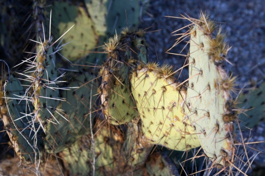 Saguaro National Park_2485